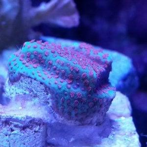 Pink Polyp Porites