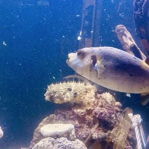 Dogface puffer and striped burrfish