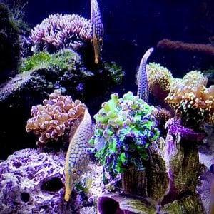OrangeSpotFilefish.jpeg