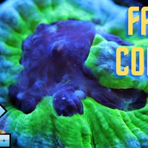 Favia coral care and tips